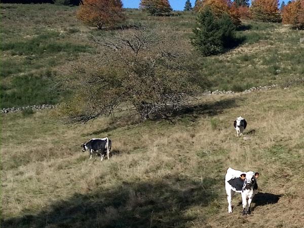 Горные коровы Франции